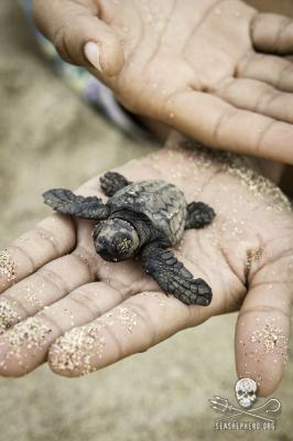 editorial-140911-1-1-140823-sa-001-first-hatchling-from-a-marked-nest-named-jairo-2770-267w.jpg