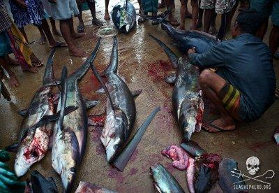 editorial-140314-1-3-sharks-being-finned-in-mirissa-sri-lanka