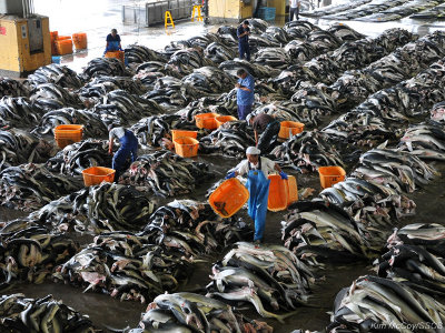 editorial-140509-1-1-kesennuma-shark-processing1