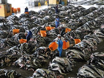 editorial-140509-1-1-kesennuma-shark-processing1