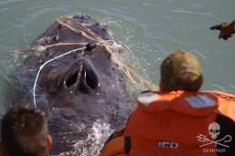 Whale entangled in net. Photo: Sea Shepherd
