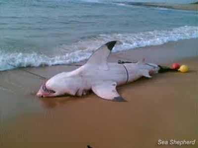 editorial_121001_1_3_White_Shark_caught_on_drumline