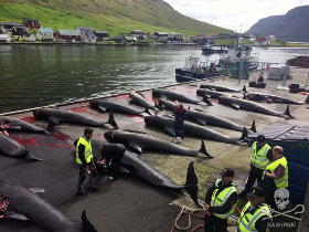 editorial-150629-2-150629-RK-grindno2-Another-bloody-slaughter-in-the-name-of-tradition-in-the-Faroe-Islands-5D446829-280w