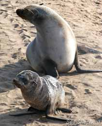 editorial_120604_1_1_Cape_Fur_Seal_with_Pup