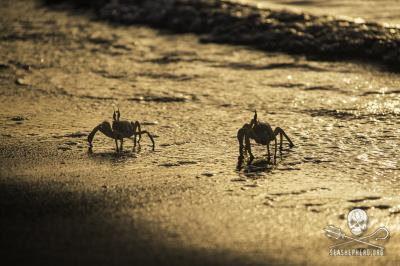 editorial-141001-1-2-140820-sa-001-ghost-crabs-hover-in-the-surf-2057-400w