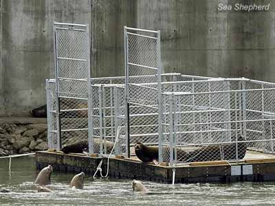 File photo of Sea lions resting inside an open cage on the Columbia River at the Bonneville Dam