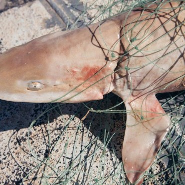 news-170219-1-2-GB-170218-A-smoothhound-shark-entangled-in-the-gill-net-45A2443