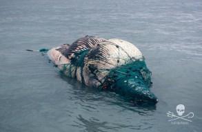 news-170219-1-2-GB-170218-dead-whale-45A2681-1000w