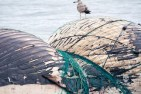 news-170219-1-4-170218-dead-whale-Dsc_2537-45A2686-1000w