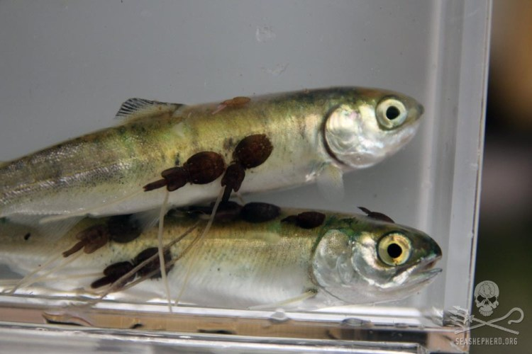 news-170724-1-1-fish-fry-with-parasites-1000w (1).jpg