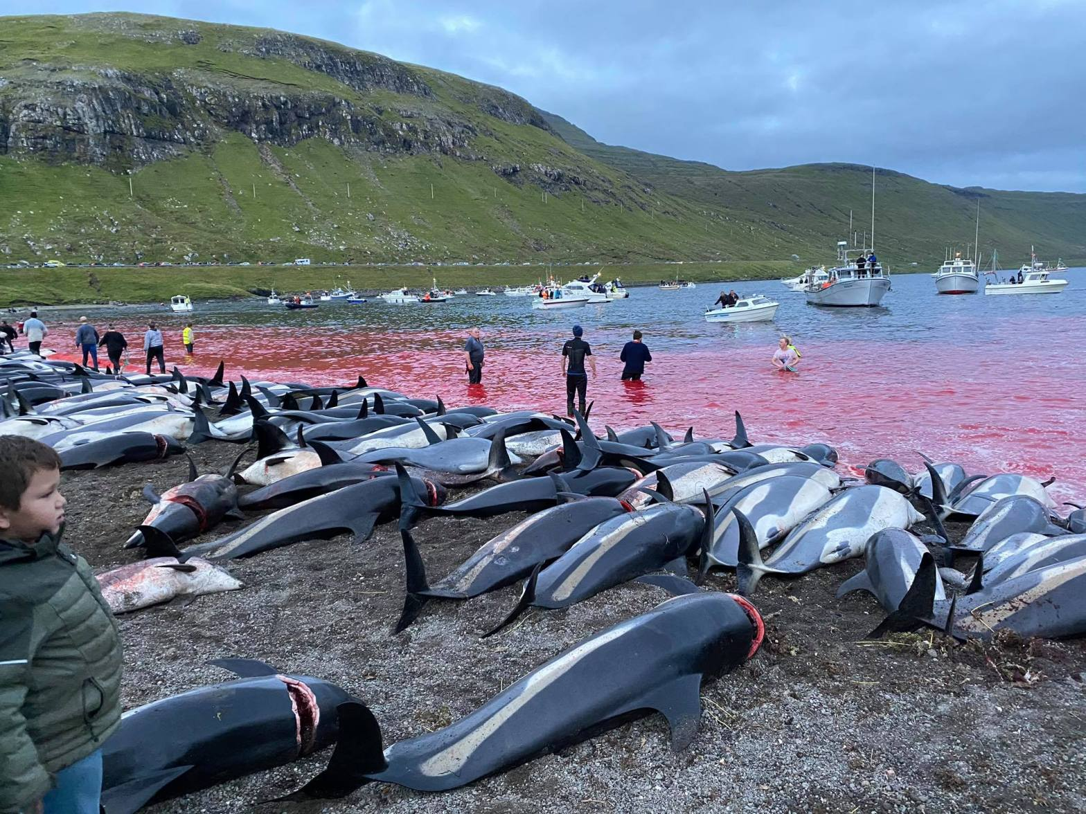 1428 Dolphins Slaughtered in the Faroe Islands Sunday Night