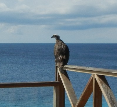 Cas Abou 3 sea eagle left