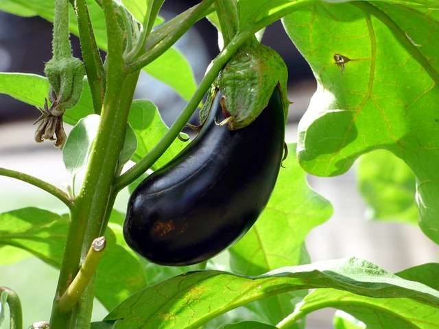 All About Eggplant
