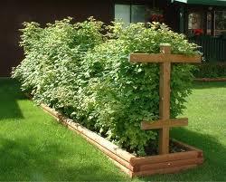 perfect garden raspberries