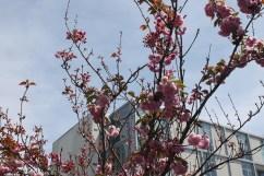 cherry blossom festival 050