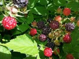 Black raspberries are ripe! Time to make black raspberry juice!