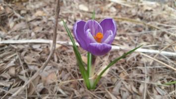 Vernal Equinox: First Flower, First Shoveler, and a Hawk