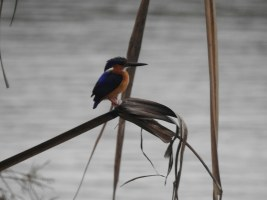 Bird of the Day: Madagascar Malachite Kingfisher