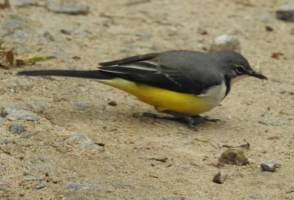 Bird of the Day: Madagascar Wagtail