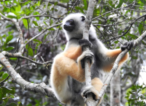 diadem sifaka in a tree