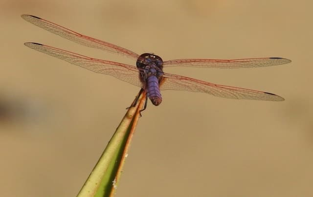 purple Madagascar dragonfly with red-tinged wings