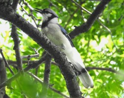 Bird of the Day: Blue Jay (Cyanocitta cristata)
