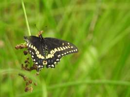 Insect of the Day: Battle-Scarred Butterfly