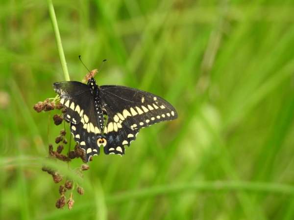 black and yellow butterfly perched on a rush