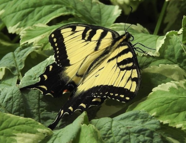 Male Eastern tiger swallowtail (Papilio glaucans) has yellow wings with black strips and black border with yellow dots