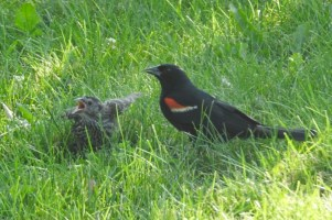 Bird of the Day: Red-Winged Blackbird