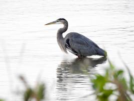 Bird of the Day: Great Blue Heron (Ardea herodias), revisited