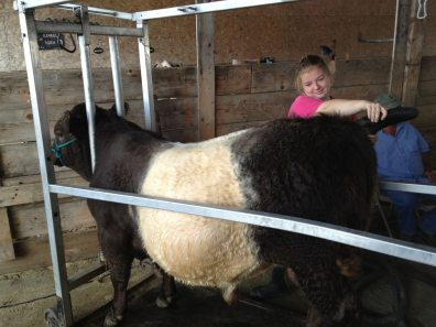 Grooming a Belted Galloway