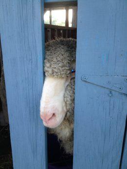 """""""Peek-a-boo"""" A freshly sheered sheep"""
