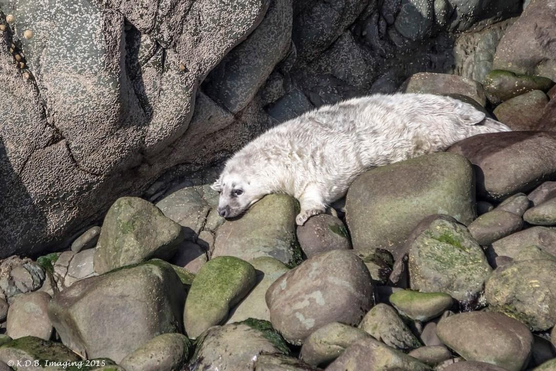 Grey Seal Pup II
