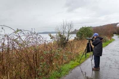 A person stands at a spotting scope. They are looking out over the water from a paved pathway, across a narrow strip of grasses, blackberry canes, and shrubs.