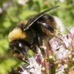 Once common, but today very rare, Western bumblebees like this one were found on Mount Hood. (Times file photo)