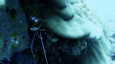 Clip 20: Banded Coral Shrimp with Chocolate Dip and Silver Damsel beyond. Dive site: Bongoyo Patches