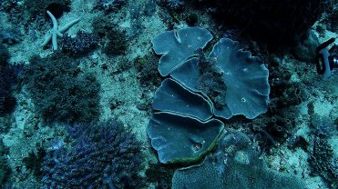 Clip 24: Reef Stonefish (Synanceia verrucosa) and Starfish (Linkckia Guildingi). Dive site: Big T-Wall