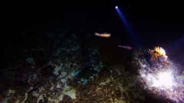 Clip 26: Color-changing squids approaching torch light on night dive. Dive site: Pipe Fish City