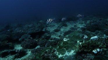 Clip 27: 3 Scissortail Sergeant fish. Dive site: Bongoyo Patches