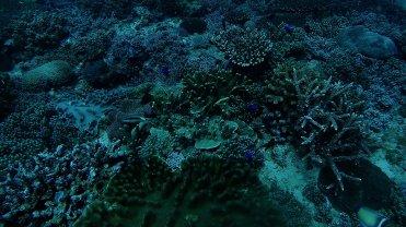 Clip 30: Band Dot Goatfish, Parrot Fish, Two-Striped Damesel, Black Surgeons, Yellow-Tail Blue Damselfish, Two Stripe Damselfish, among others. Dive site: Bongoyo Patches