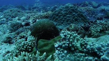 Clip 37: Arc-eye Hawkfish. Dive site: Bongoyo Patches