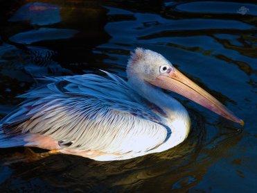 Pelican 1024 x 768