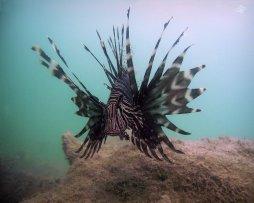 Lionfish in Dar es Salaam 1280 x 1024