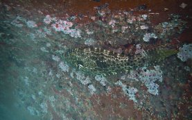Filefish on Barnacled Boat 1680 x 1050