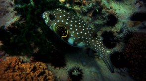 Spotted Puffer 1366 x 768