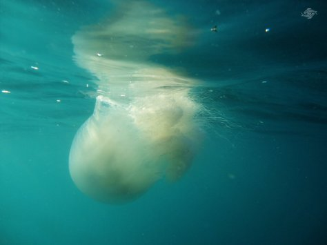 Giant Jelly at the Surface 1024 x 768