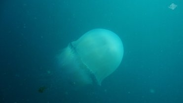 Giant Jelly with Trailing Fish 1366 x 768