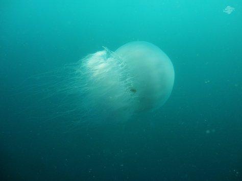 Giant Jellyfish 1024 x 768