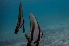 longfin batfish Platax Teira